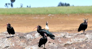Two pairs of Northern Bald Ibis at their wintering grounds on the Ethiopian highlands in November 2008. Three of these birds were equipped with satellite transmitters. Every year, by the end of February, they would return to their Palmyra breeding cliff flying over 3,200 km. Photo: Gianluca Serra.